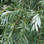 Листья белой вербы