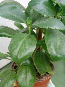 Каланхоэ растение