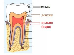 анатомия зуба