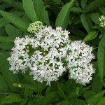 Цветки сибирской бузины