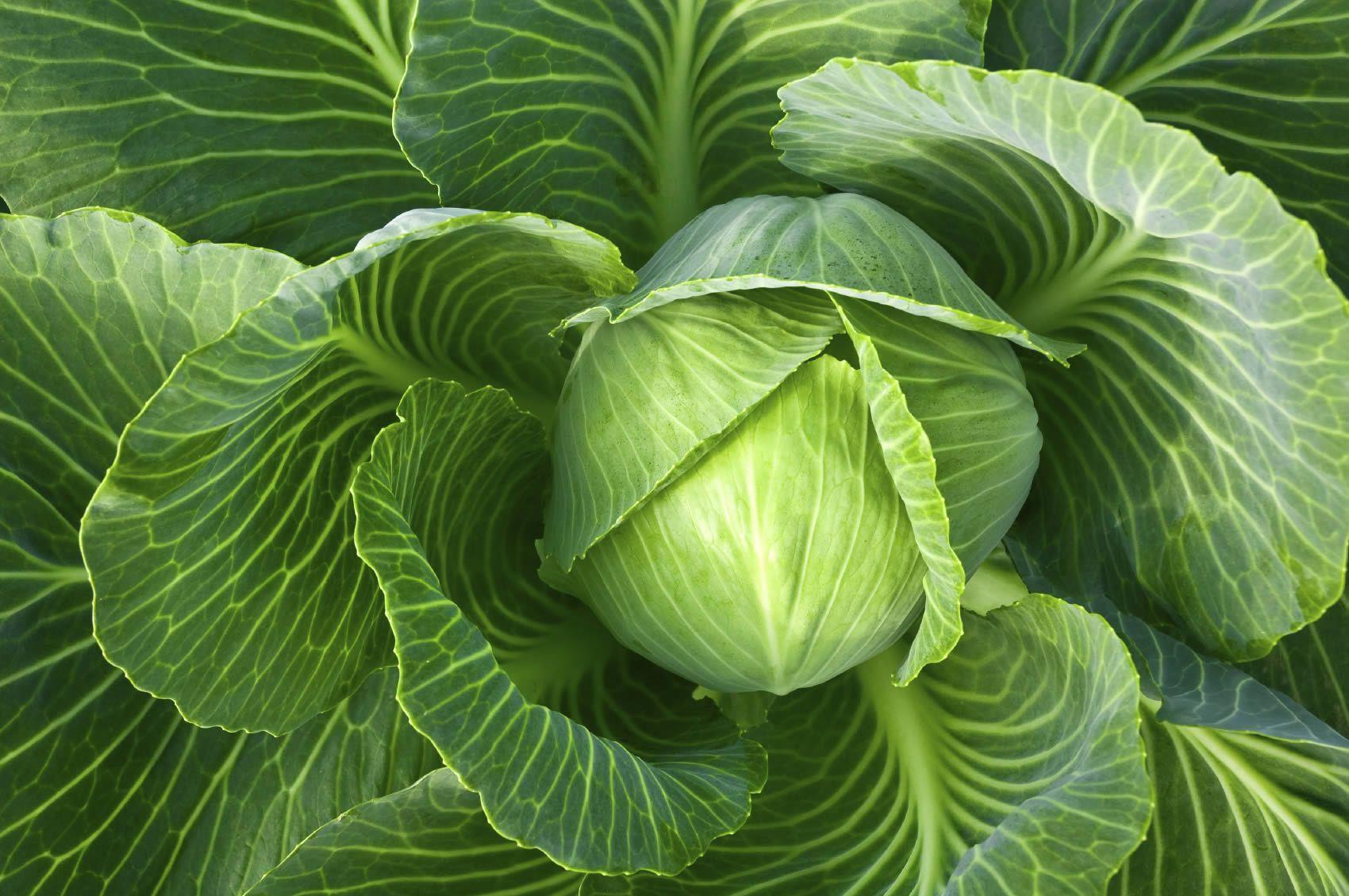 Как применять капусту при мастопатии