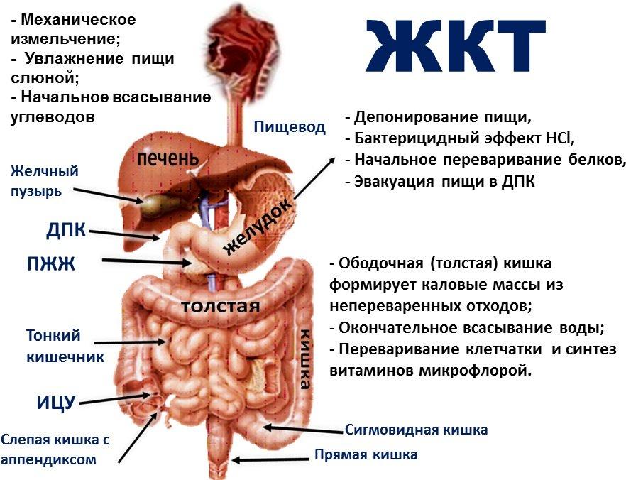 Чем лечить желудочно кишечный тракт