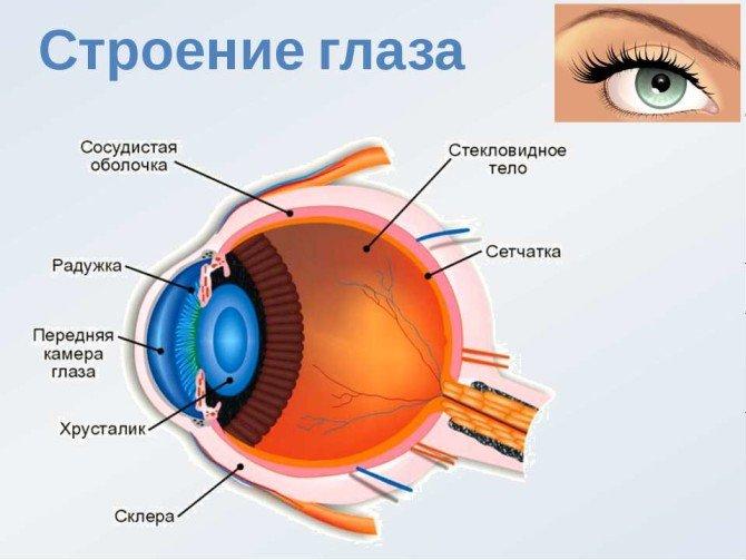 Анатомическое строение глазного яблока