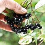Плоды рябины черноплодной