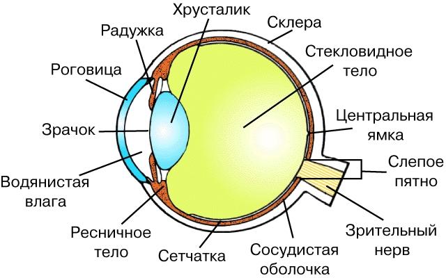 Анатомия человеческого глаза