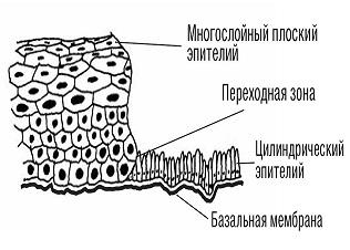 Эпителий шейки матки