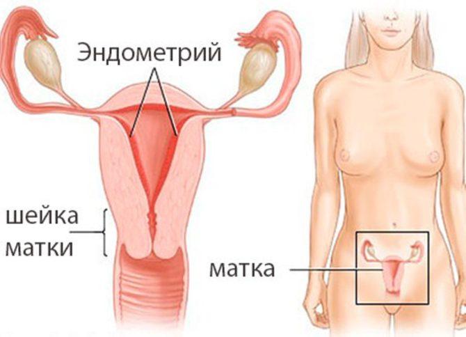 Строение внутренних половых органов женщины
