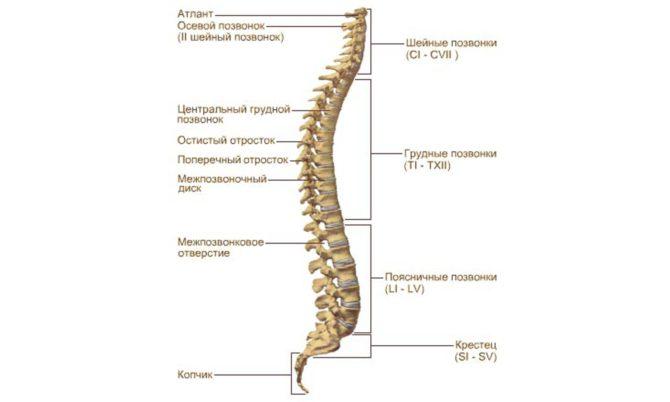 Анатомическое строение позвоночного столба