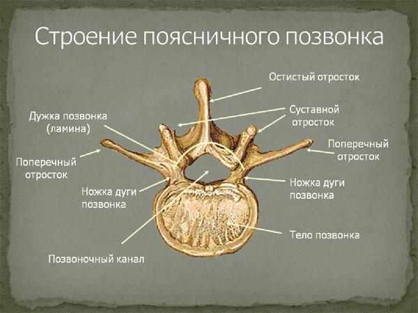 Анатомия поясничного позвонка