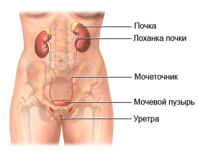Почки — органы мочевыделительной системы