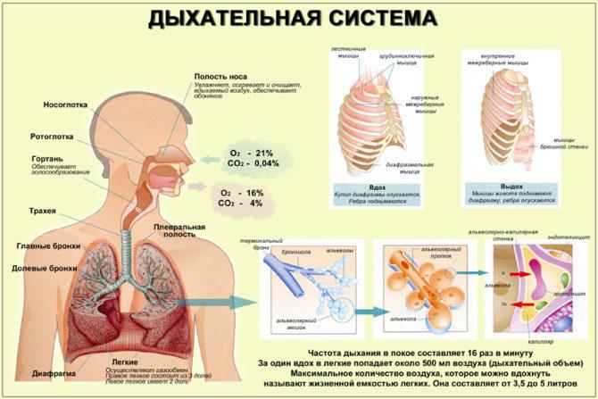 Схема строения дыхательной системы человека и нормального процесса газообмена