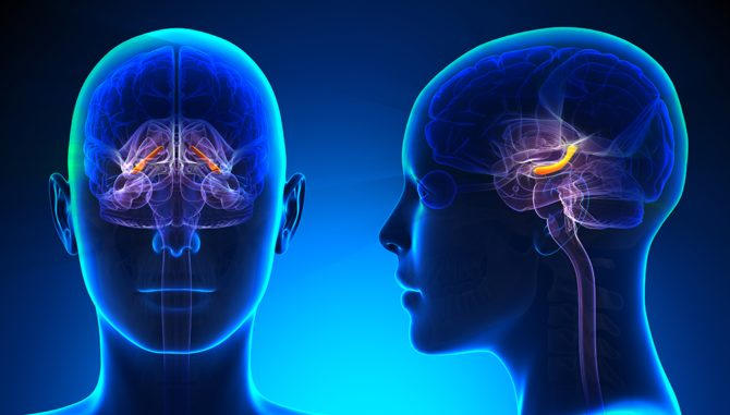Гиппокамп головного мозга человека