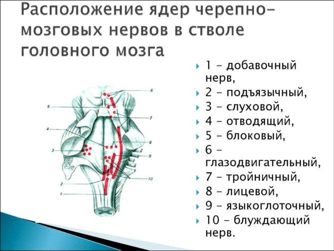 Строение ядер черепно-мозговых нервов в продолговатом мозге
