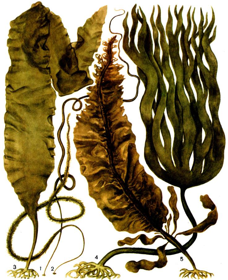все о бурых водорослях с картинками вообще таких поездках