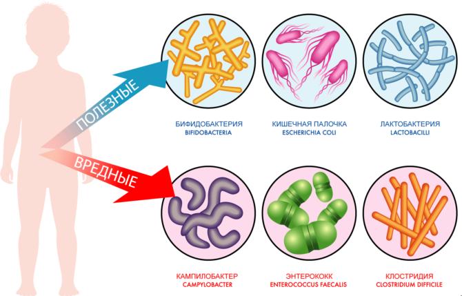 Полезные и вредные бактерии кишечника