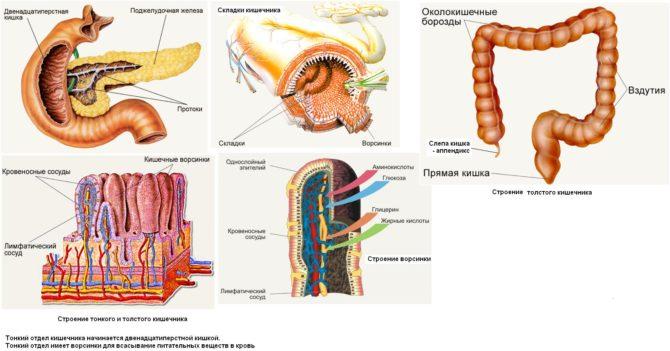 Схемы усвоения питательных веществ в пищеварительном тракте