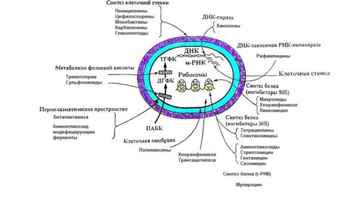 Схема действия антибиотиков на бактерии