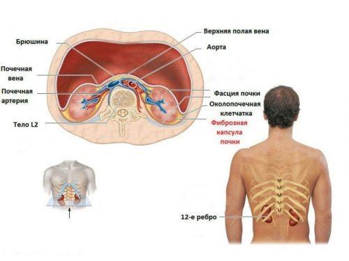 Схема расположения почек и органов забрюшинного пространства