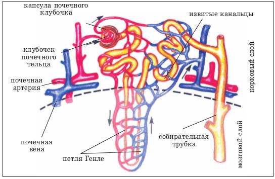 Схема строения сосудов почек
