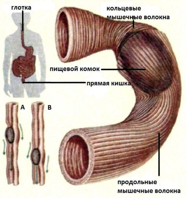 Задержка пищевого комка в кишечнике