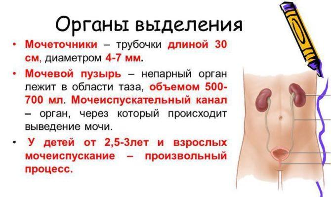 Мочевыделительные органы (описание, схема)