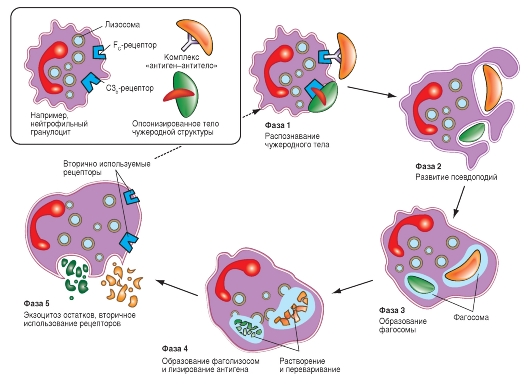 Схема фагоцитоза