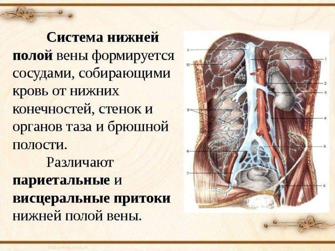 Схема строения нижней полой вены