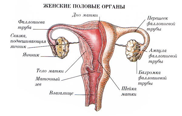 Миома матки - что это, симптомы и признаки, лечение (в т.ч. народными средствами), последствия, отзывы, фото