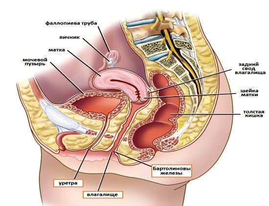 Строение органов малого таза у женщины