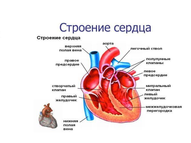 Анатомия сердца (схема)