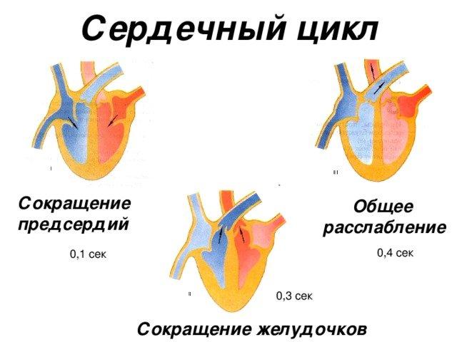 Фазы сердечного цикла