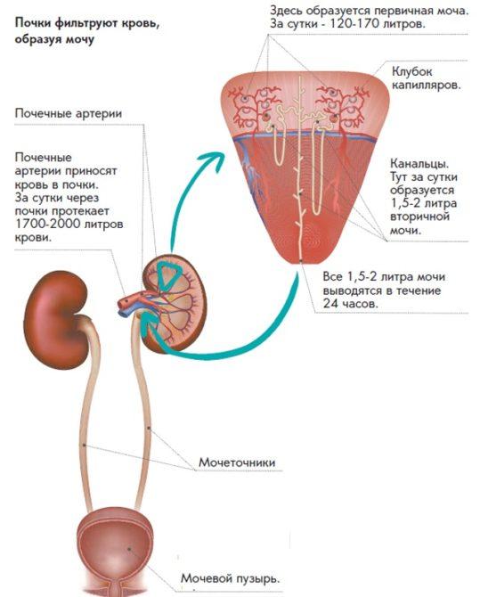 Фильтрация крови в почках
