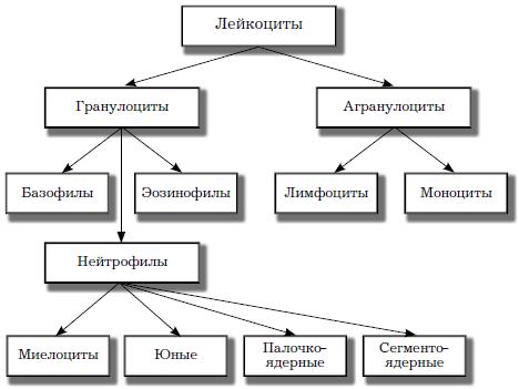 Классификация лейкоцитов