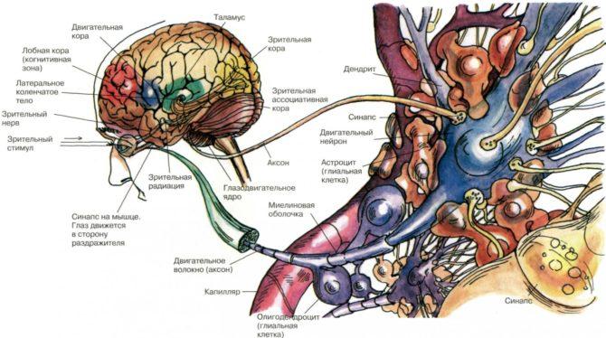 Нейронные связи головного мозга (схема)