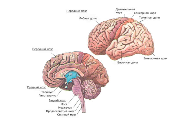 Отделы головного мозга (схема)