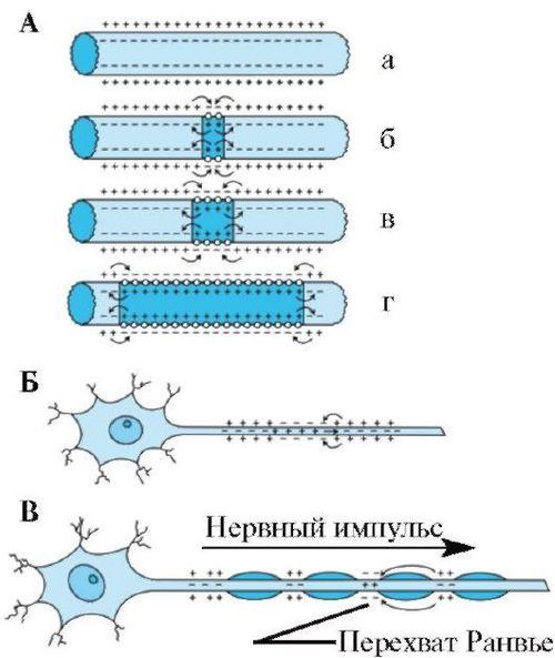 Перехваты Ранвье (схема)