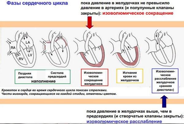 Сердечный цикл (схема)