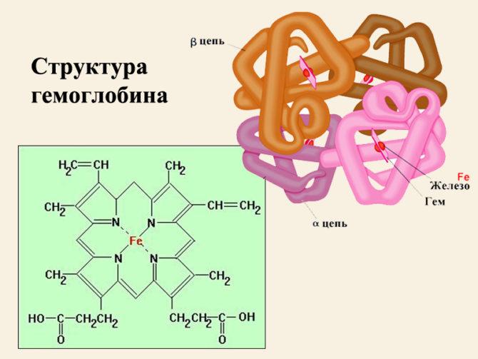 Строение гемоглобина (схема)