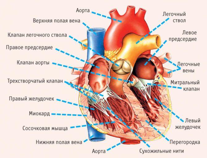 Строение клапанов и сосудов сердца (схема)