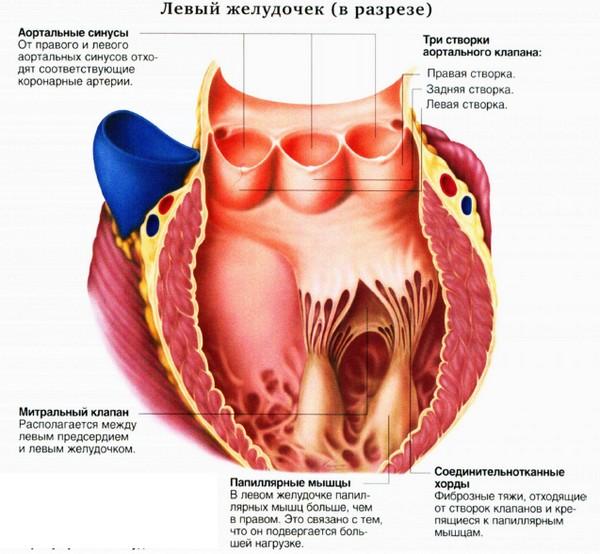 Строение полулунного клапана (схема)