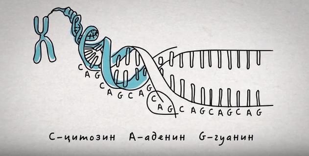 Структура гена, расположенного на 4 хромосоме