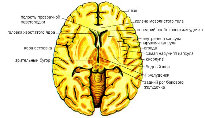 Базальные ядра головного мозга