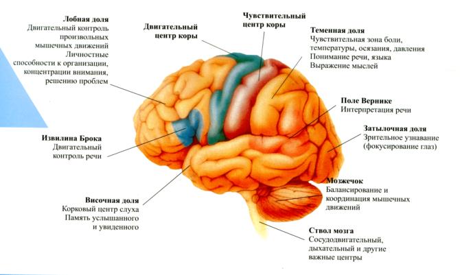 Центры регуляции в головном мозге