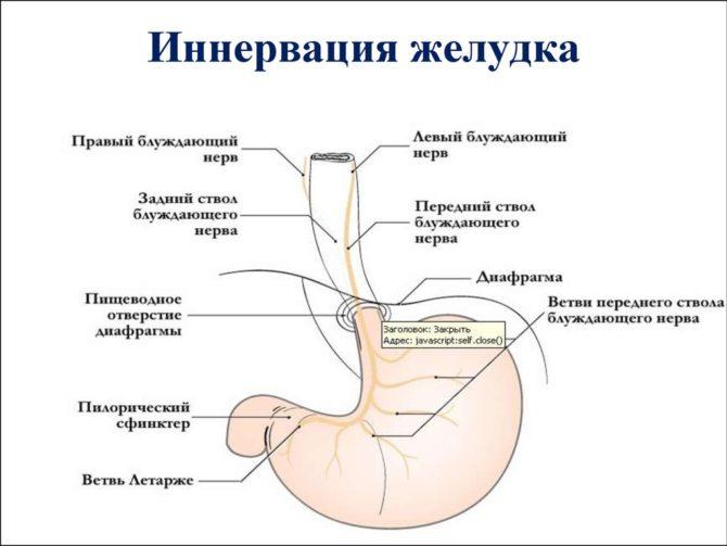 Нервы желудка (схема)