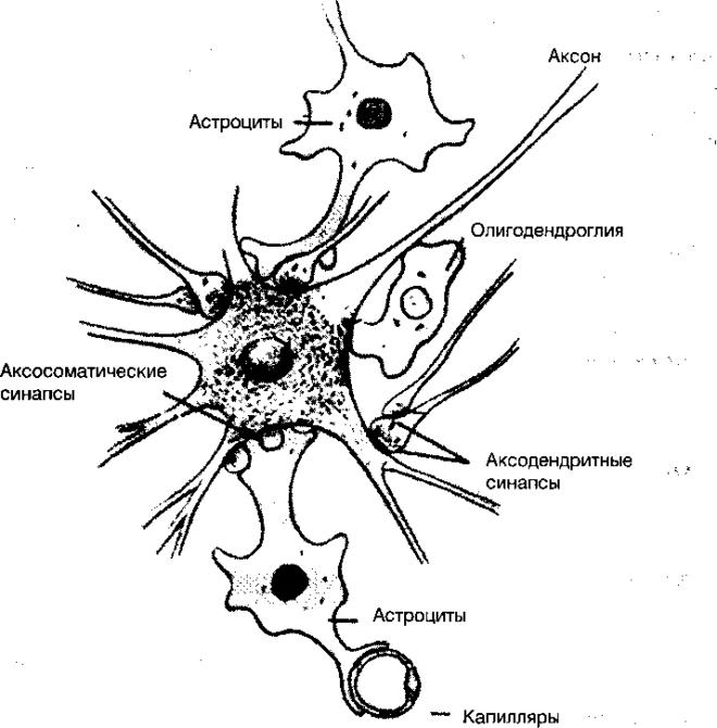 Нейрон и вспомогательные клетки нервной ткани