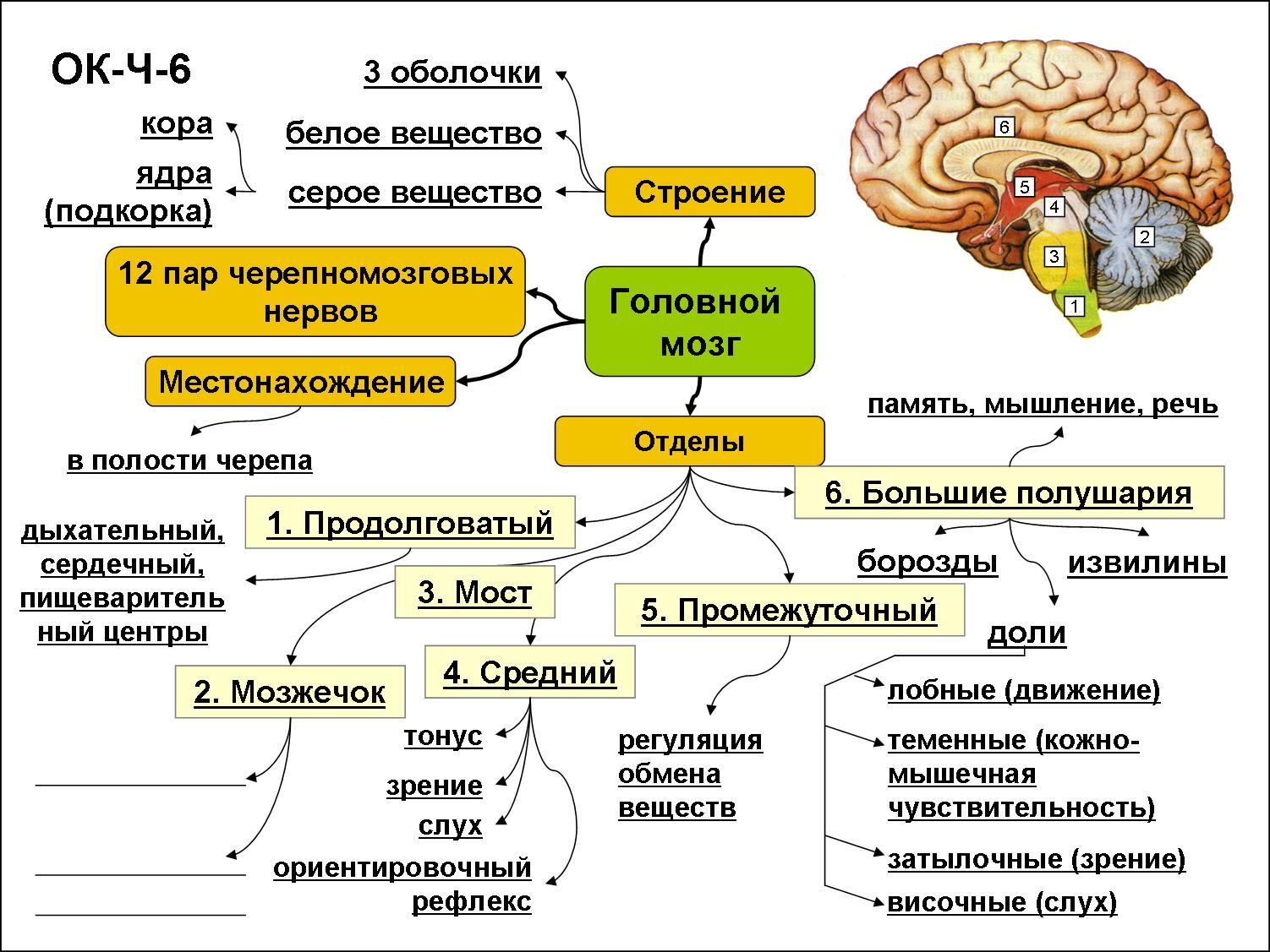 Строение и шпаргалка его функции головной мозг