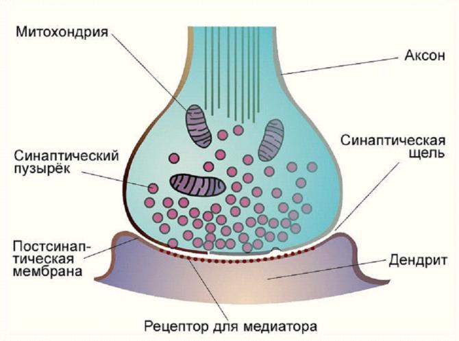 Строение нервно-мышечного синапса