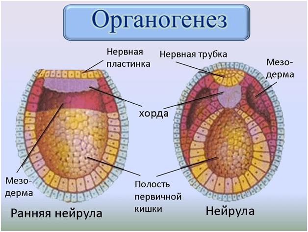 Органогенез человека (схема)