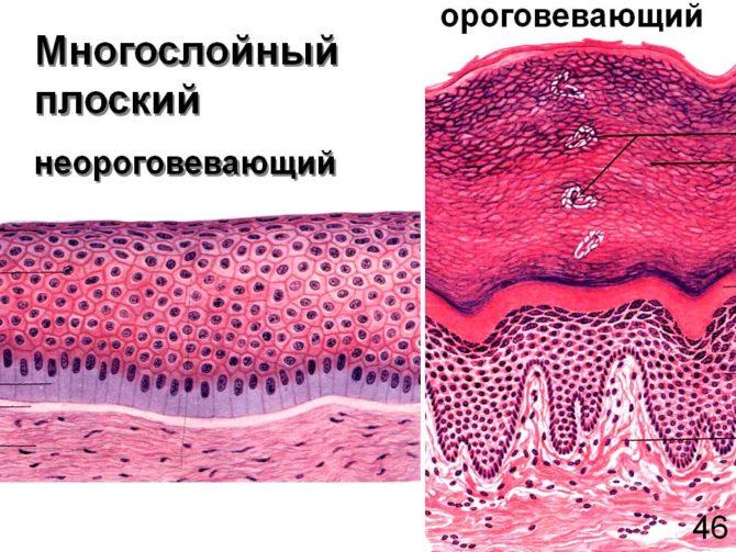 Строение эпителия слизистой оболочки полости рта