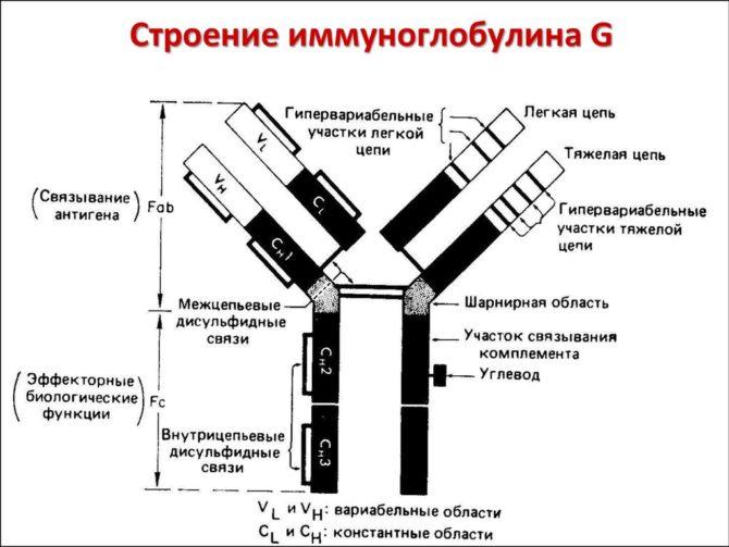 Строение иммуноглобулина (схема)